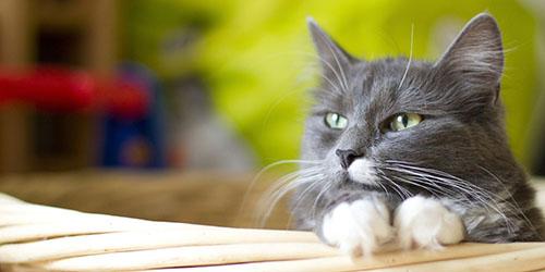 приснилась серая кошка