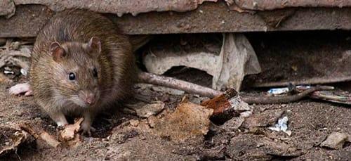 нападение крысы