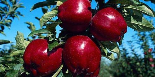 красные яблоки во сне