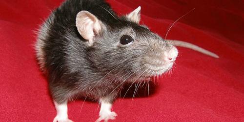 сонник крыса