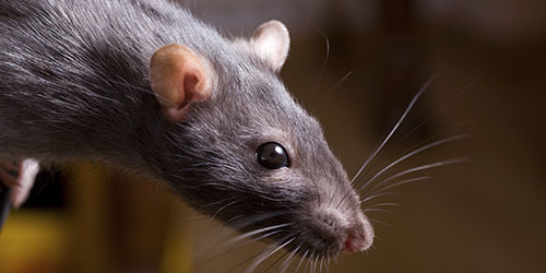 увидеть во сне крысу