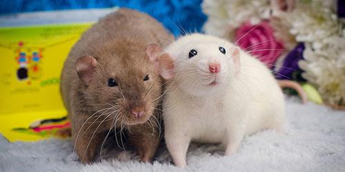 приснились крысы в доме