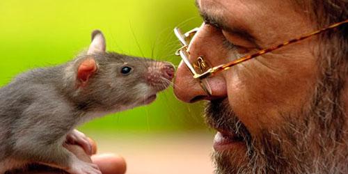 ласковая крыса