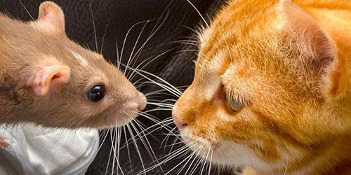 кошка и грызун