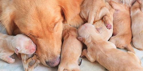 приснились новорожденные щенки