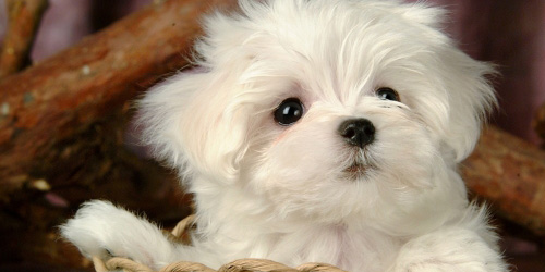 к чему снится щенок