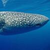 сонник акула