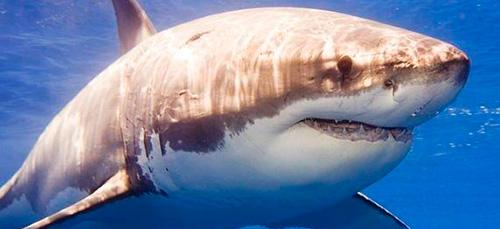 акула во сне