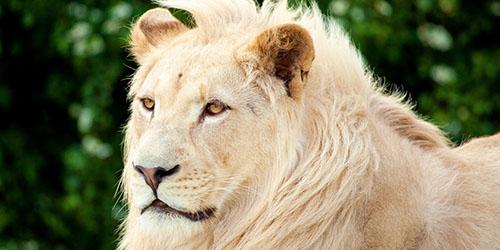 к чему снится белый лев