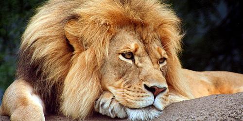 К чему снится лев мужчине