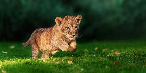 приснился львенок