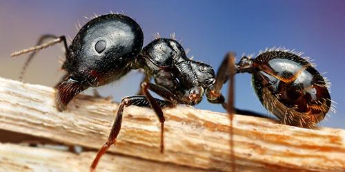приснились большие муравьи