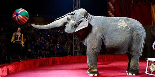 приснился слон в цирке