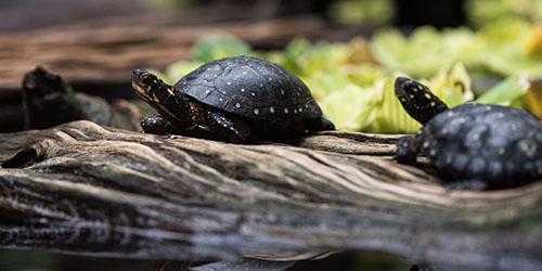 черные черепахи