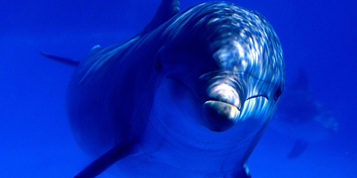Сонник дельфин к чему снится дельфин во сне