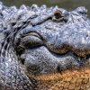 сонник крокодил