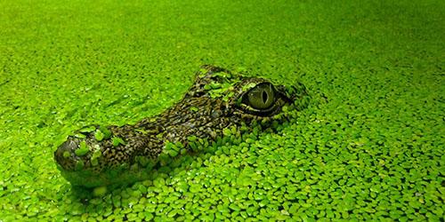 приснился маленький крокодил