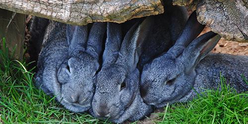 приснились большие кролики