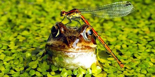 сонник лягушка