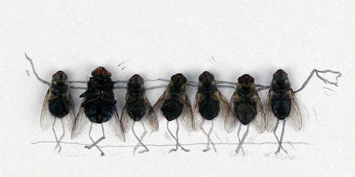 сонник мухи