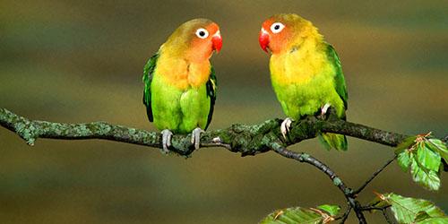 приснились два попугая
