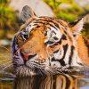 увидеть во сне тигра