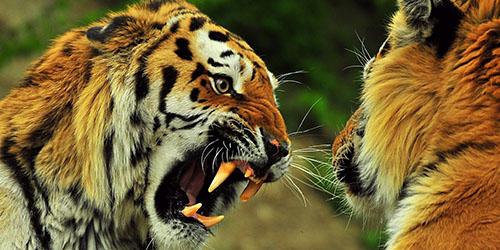 Разъяренный тигр