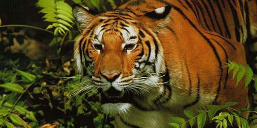 к чему снится тигр