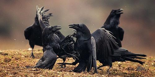 к чему снятся черные птицы