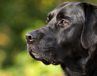 К чему снится черная собака?