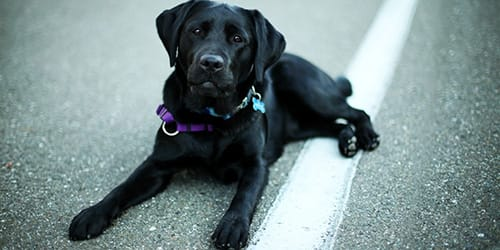 сонник черная собака