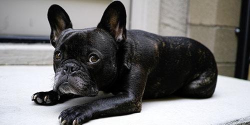 приснилась маленькая черная собака
