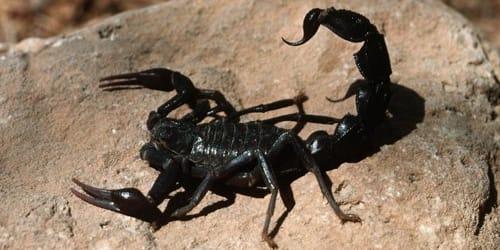 сонник скорпион