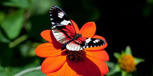к чему снится бабочка