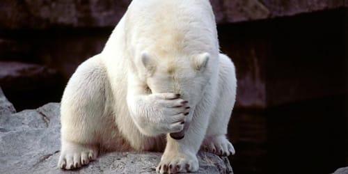 сонник белый медведь
