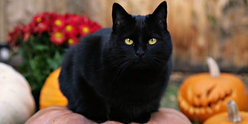 сонник черная кошка