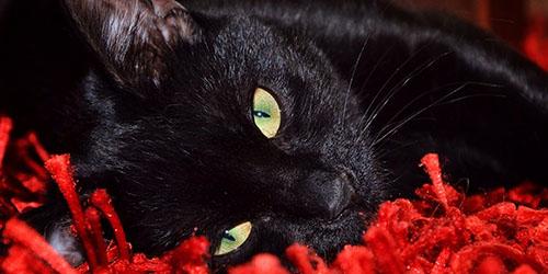 к чему снится больная черная кошка