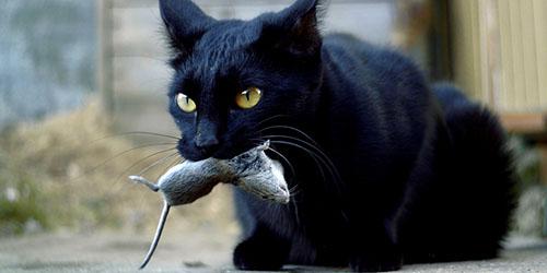 приснилась черная кошка с мышью
