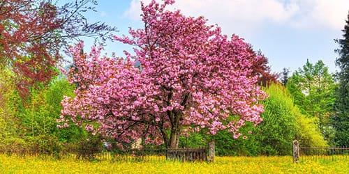 сонник дерево
