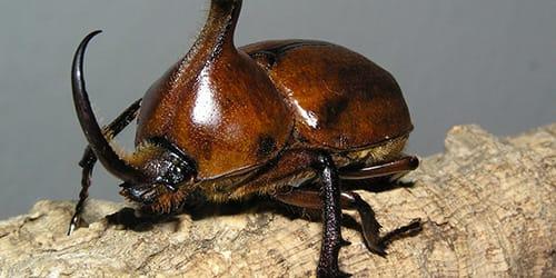 Сонник жуки насекомые много фото