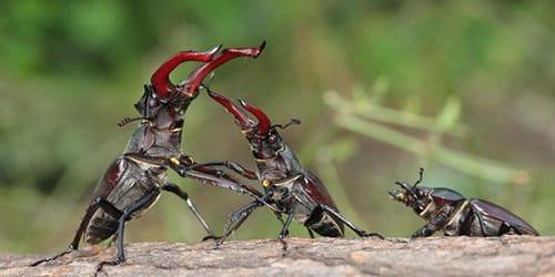 Фото Сонник жуки в ушах