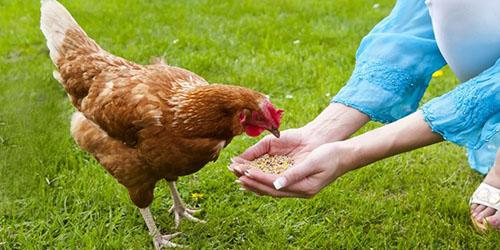 к чему снится кормить курицу