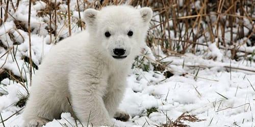 сонник медвежонок