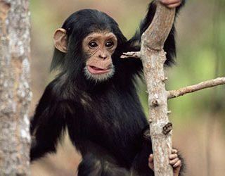 К чему снится обезьяна?