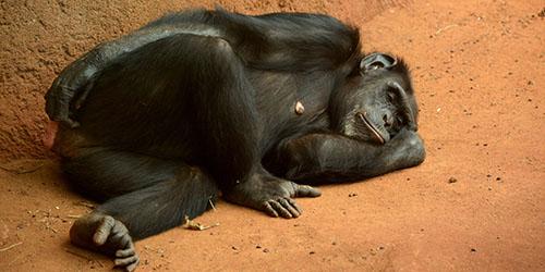 Спящая обезьяна