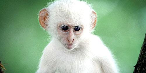 Белая обезьянка