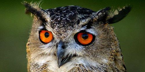 видеть во сне сову