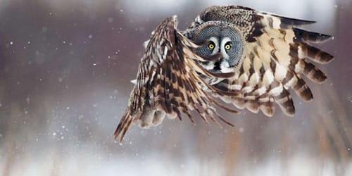 к чему снится сова