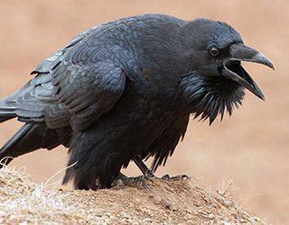 К чему снится ворона?