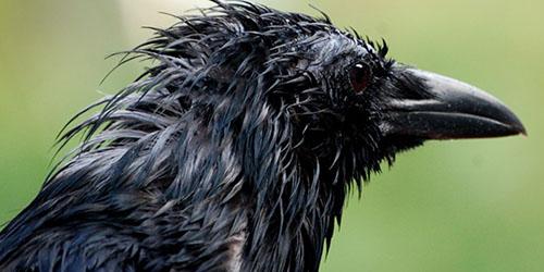 К чему снится мокрая ворона